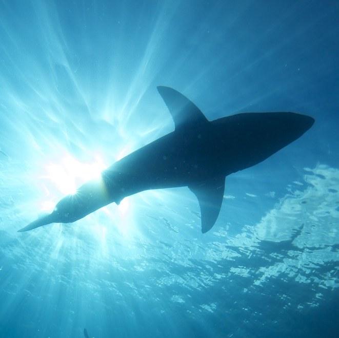 Great White Sharks